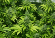 How to grow weed indoors with this step by step guide for beginners